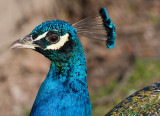 Peacock Blue *