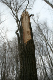 Damage from a Pileated Woodpecker
