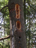 Pileated Woodpecker Holes in Pine Tree