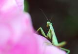 D200_4348Preying Mantis1.jpg