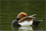 Pato de Bico Vermelho - Netta rufina