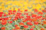 0710 25th October 06 Flowers Al Gharoud Dubai.JPG
