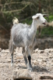 Goat Hatta.JPG