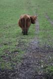 Highland Cow.JPG