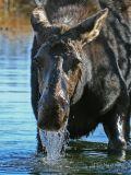 Cow Moose Feeding on Aquatic Plants