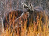 Cow Moose Behind Willows