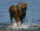 Hungry Calf Runs to Mom
