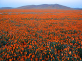 Field of Unfurled Poppies