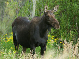 Cow Moose Standing