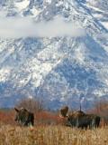 Snowy Mountain Moose