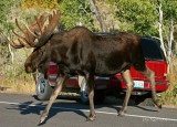 These Moose are Made for Walking...
