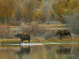 Monte Pursues a Hard-to-Get Cow