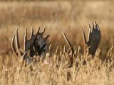 Why Moose Lose at Hide-and-Seek