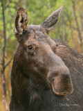 Cow Moose on a Wet Morning