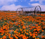 Poppies and Antique Farm Machinery