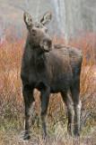 Watchful Moose