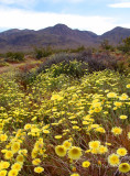 Desert Dandelions and Mountains