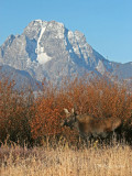 Cow Moose and Mt. Moran