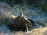 Calf Resting on Frosty Grass