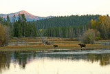 Cow and Calf at Oxbow Bend