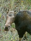 Cow Moose Looking Up