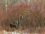 Calf Feeding on Lodgepole Pine