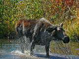 Cow Shakes Off Water