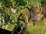 Buddy the Moose Gets a Grip on Some Aspens