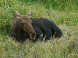 A Cow Moose Snoozes