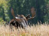 Bull Moose in Field