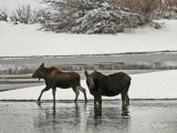 Calf and Cow in Snow