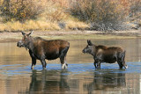 Cow Moose and Calf Wading