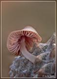 zeedenmycena