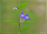 blauw glidkruid