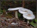 Spikkelsteelveldridder - Melanoleuca verrucipes