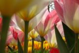 lilium forest