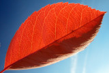 a small red leaf