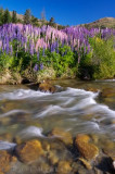 Lupins Cardrona River