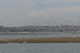 Pace Point gulls
