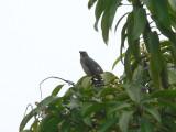 Grayish Saltator