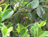 Rufous-breasted Saberwing