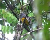 Amazonian White-tailed Trogon
