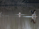 Wood Stork, Roseate Spoonbill & Reddish Egret