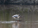 Wood Stork & Reddish Egret