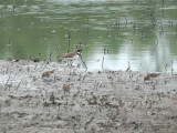 Semi Plover & Least Sandpipers