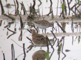 White-rumped Sandpiper (rear)