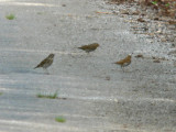 3 Species of Thrushes