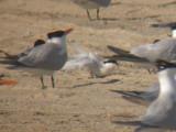 Roseate Tern (wing)