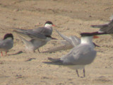 Roseate Terns & etc.