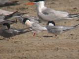 Roseate Terns (rosy bird)